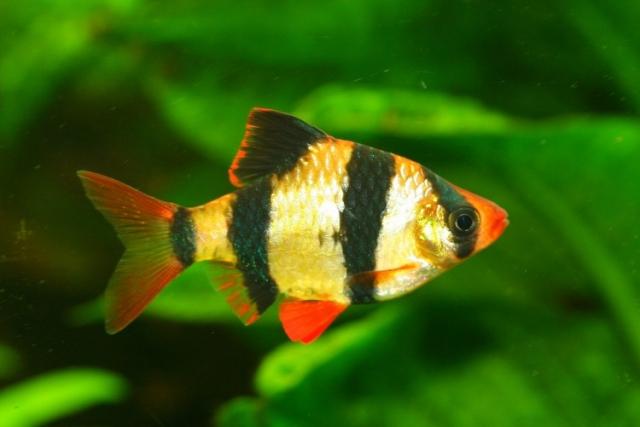 Аквариумные рыбки барбус уход и содержание